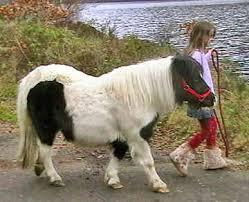 Shetlands Horses