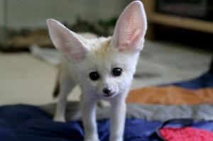 fannec fox