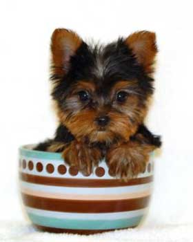 Teacup Yorkie Be Ultra Careful About This Cute Little Pet Doggy
