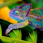 chameleon-as a pet