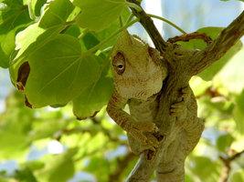chameleon in branches