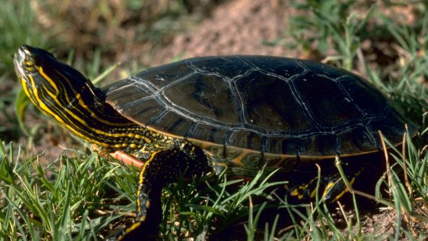 What-do-the-baby-painted-turtles-eat