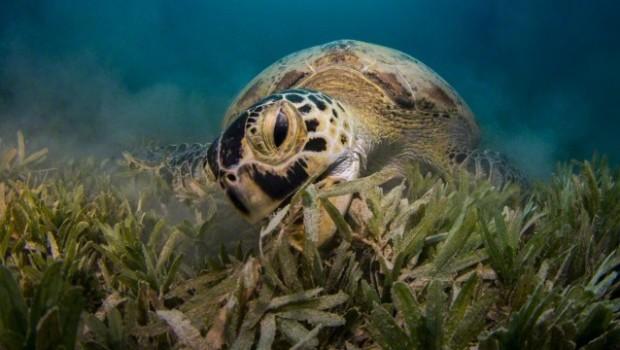 Green Sea Turtle Eating