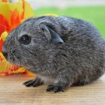guinea pig - the best pet