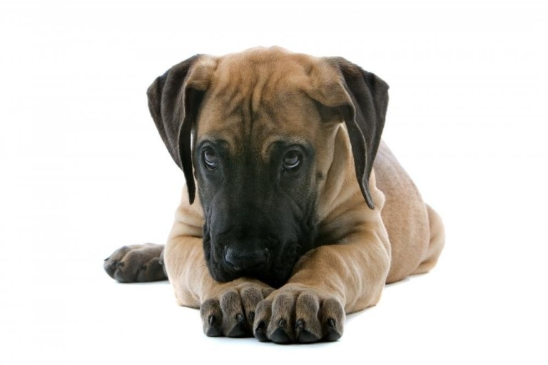 great dane puppies what to consider doggy bakery. Black Bedroom Furniture Sets. Home Design Ideas