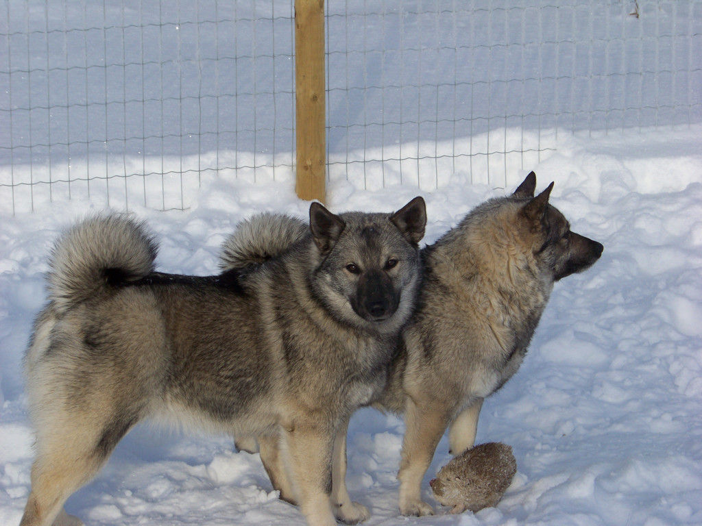 Norwegian Elkhound An Excellent Companion And Friend