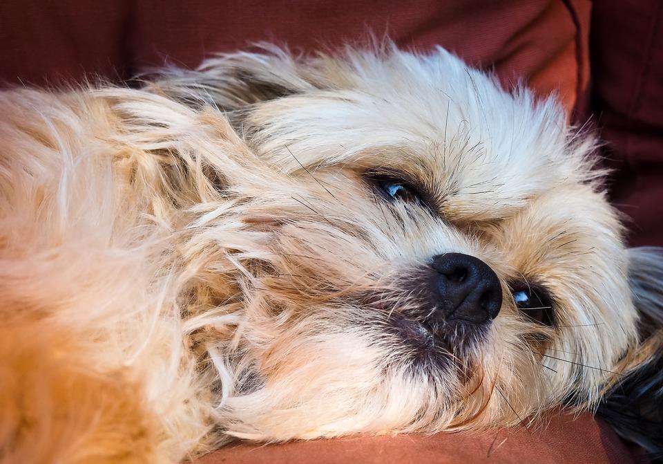 an ill dog