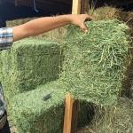 high quality hay