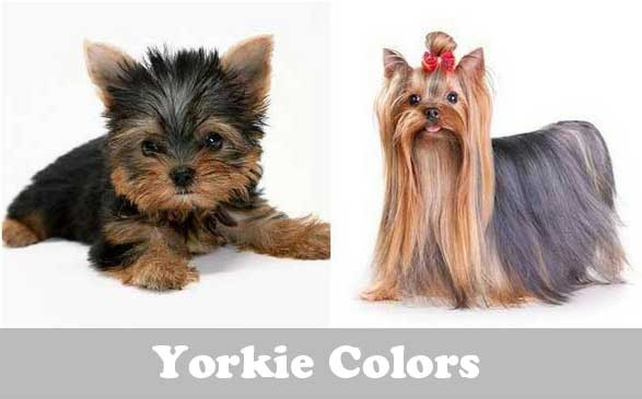 yorkie color change