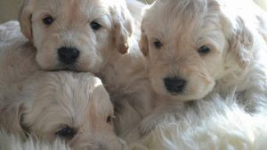 labradoodle puppies at Worsley Labradoodles