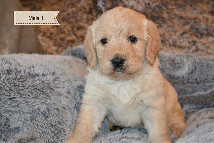 labradoodle puppy at Worsley Labradoodles