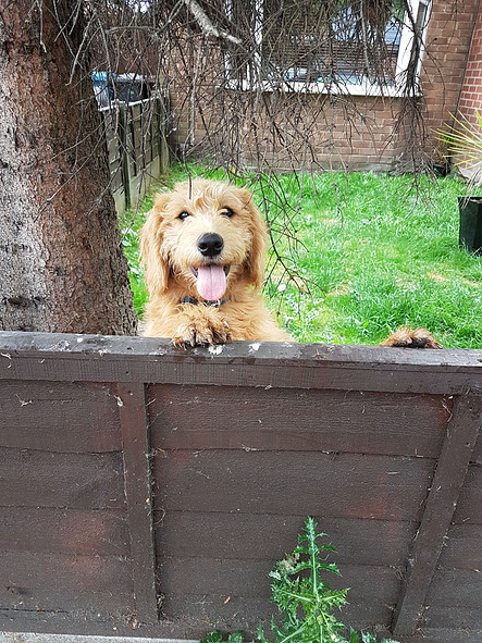 labradoodle puppy in yard at Worsley Labradoodles