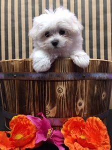 snowflake new puppy