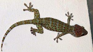 taming a Tokay gecko