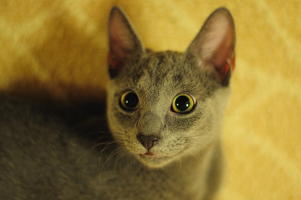 Russian Blue cat yellow eyes