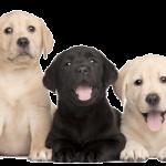 Long Island NY puppy store